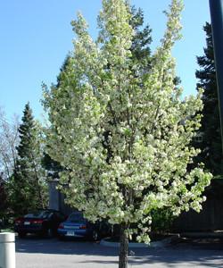Chanticleer pear (Bloom)