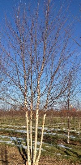 Clump River Birch Weaver S Landscape Company